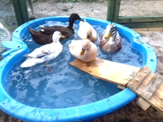 Lyn's ducks